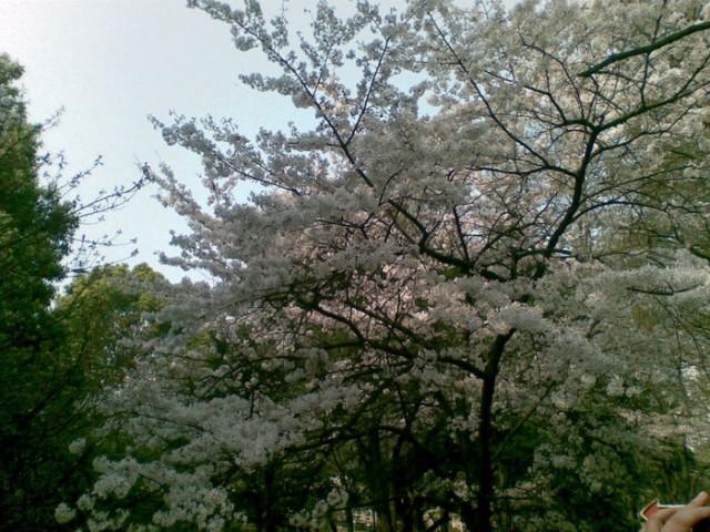 信息学院的樱花
