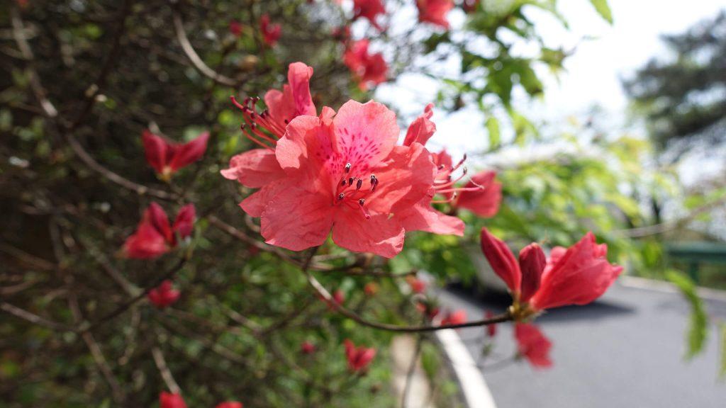 衡山的杜鹃花